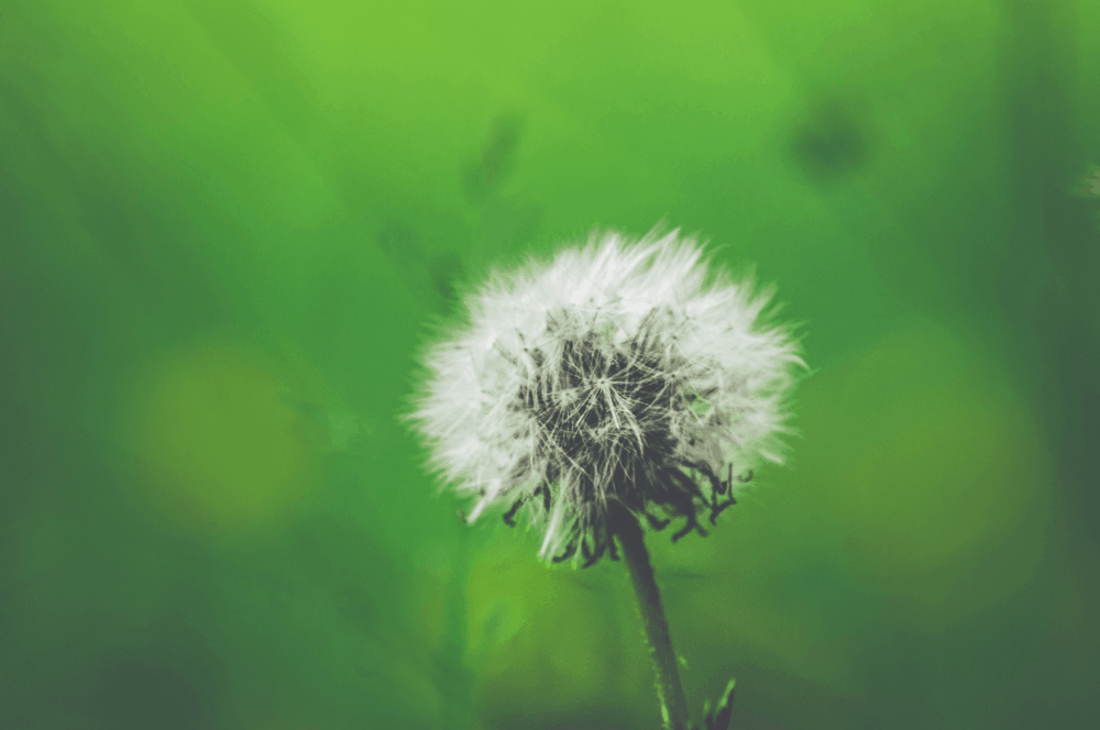 white dandelion closeup photography